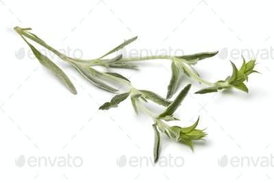 Twig of fresh green ironwort