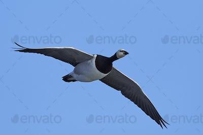 Barnacle goose (Branta leucopsis)