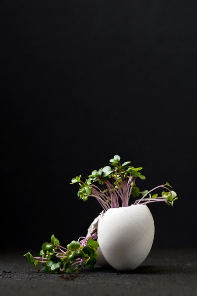 Young green cress-salad in an egg-shell on a black background.
