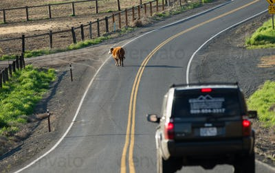A Cow Stops Traffic Loose on the Highway Outside Ranch