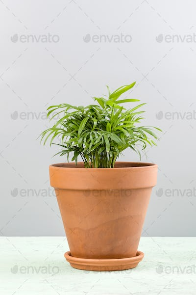 Houseplant - a small palm of Areca in a clay pot.