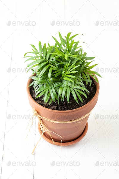 Indoor green plant Chamaedorea in a clay terracotta pot.