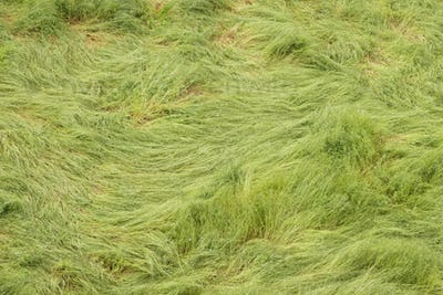 Green long grass twirled by strong winds.