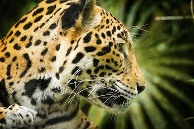Jaguar Cat Profile