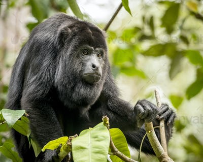 Howler Monkey In Forest