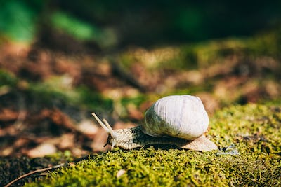 Snail with white shell creeping on the forest moss.