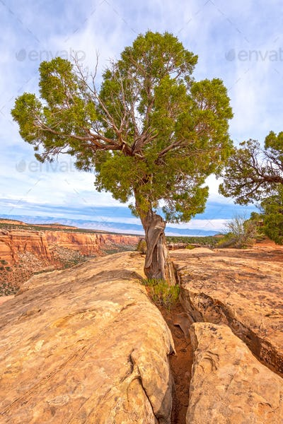 Pinyon Tree Growing out of the Rock