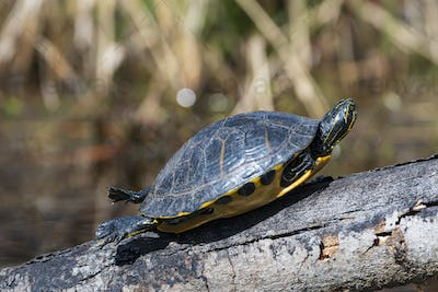 Yellow Slider Basking in the Sun