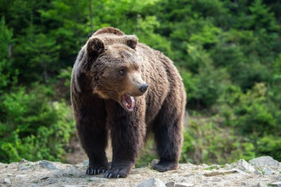 European brown bear in a forest landscape