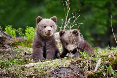 Two little brown bear cub in summer forest
