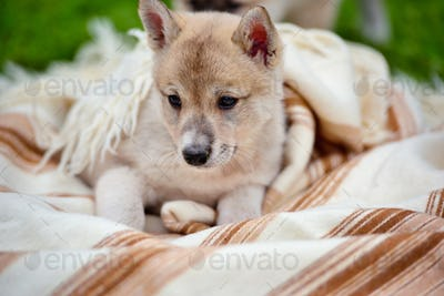 Portrait of cute Siberian Laika on the blanket