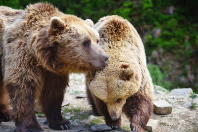 Two young brown bears in the summer forest