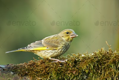 Greenfinch (Carduelis chloris) on mossy tree trunk