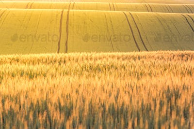 Golden sunrise over wheat fields