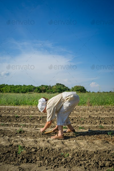 Woman farmer planting young tomatoes plants