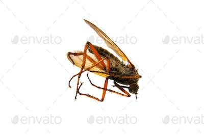Deadly mosquito on a white background