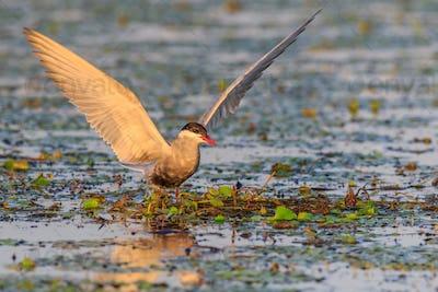 common terns (sterna hirundo hirundo)
