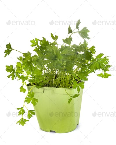 parsley in studio