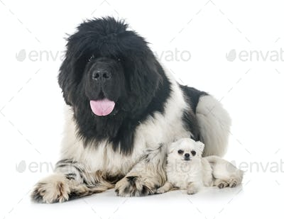 newfoundland dog and chihuahua
