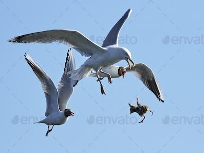 Black-headed gull (Chroicocephalus ridibundus) chasing European herring gull (Larus argentatus)