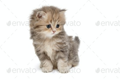 Funny kitten of British marble breed
