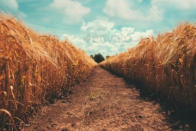 Narrow path through golden barley field