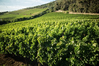 View of vineyard on hill