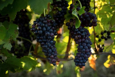 Close up of grapes hanging on plants