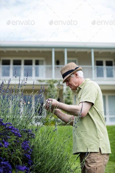 Senior man checking lavender
