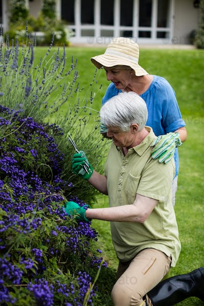Senior couple trimming lavender
