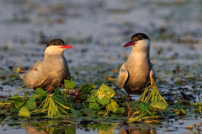common terns (sterna hirundo hirundo)