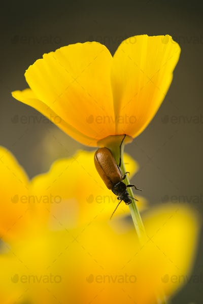 Red insect on stem of golden poppy flower,