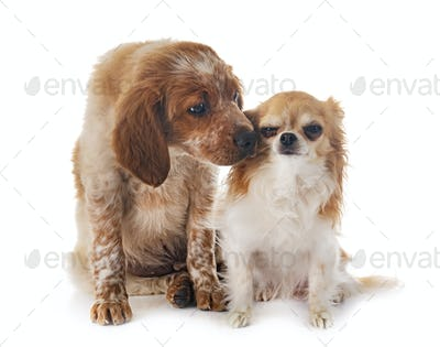 puppy brittany spaniel and chihuahua