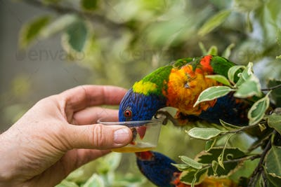 Man giving sweet nectar to Lorikeet Rainbow parrot