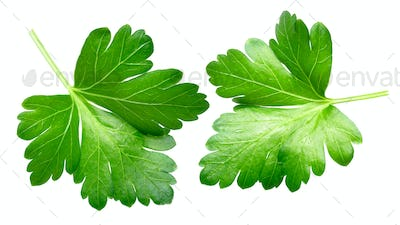 Parsley leaflets p. crispum, top view