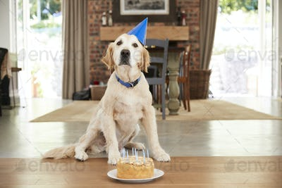 Pet labrador dog celebrating birthday at home