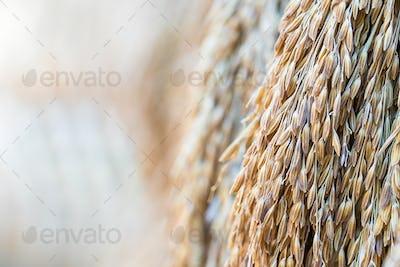 Dry paddy rice seeds-4