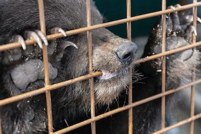 Angry Kamchatka Brown Bear Gnaws an Aviary Lattice in Zoo
