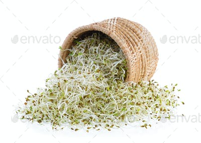 Sprouted alfalfa seeds in basket on a white background