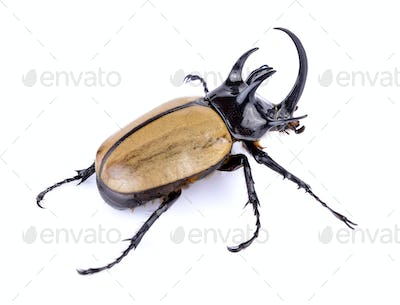 Big horned beetle on white background