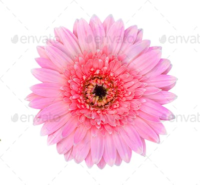 pink gerbera flower isolated on a white background