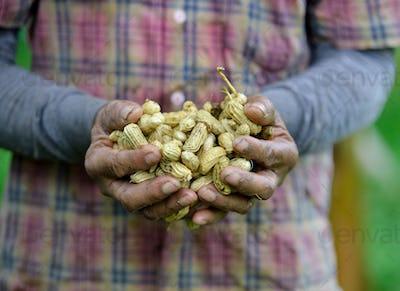 farmer harvest peanut on agriculture plantation