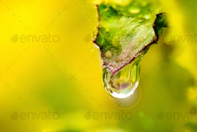Water droplets on leaves in light moring