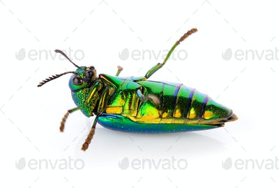 metallic wood-boring beetle on white background