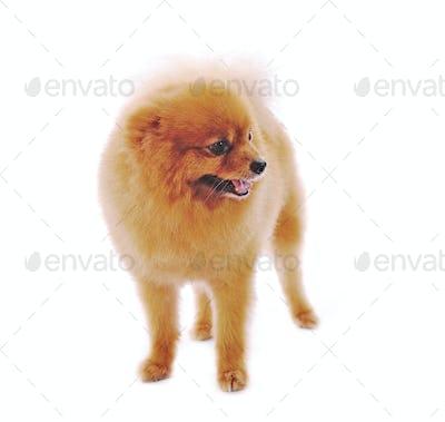 Pomeranian Spitz dog. Portrait on a white background