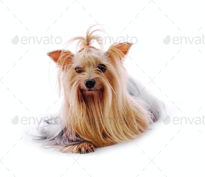 Beautiful Yorkie on white background