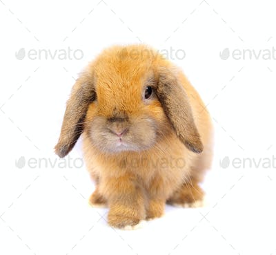 Lop rabbit on white background