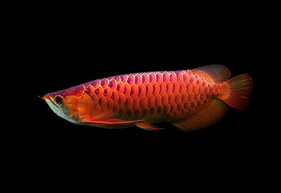 Asian Arowana fish on black background.