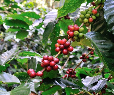 red coffee beans on coffee tree