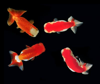 Ranchu Lion Head goldfish on background